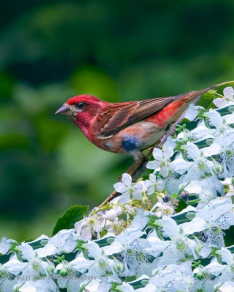 Purple Finch (male)