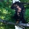 Bald Eagle. Image taken from my kayak on Parks Pond.