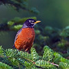 American Robin (Turdus migratorius) male. Image taken at Fields Pond Audubon facility near Bangor.