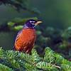 American Robin (Turdus migratorius) male. Image taken at Fields Pond Audubon facility near Bangor.