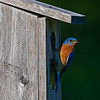 Eastern Bluebird at Fields Pond, Bangor Maine.