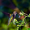 Ruby-throated Hummingbird female.