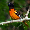 Baltimore Oriole singing a tune at the Maine's Audubon Society facility, Fields Pond, Bangor Maine.