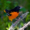 Baltimore Oriole (Icterus galbula) male. Image taken at the Houston Audubon Society's, Boy Scout Woods in High Island, Texas.