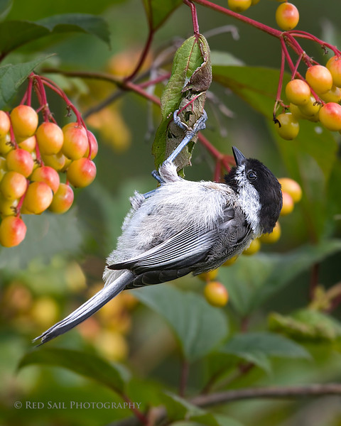Black-capped Chickadee (Poecile atricapilla). This is the state bird of Maine.