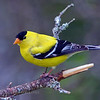 American Goldfinch male (Carduelis tristis)