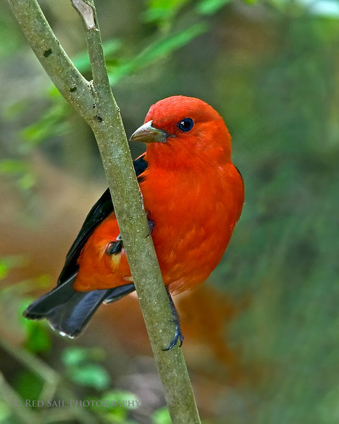 Scarlet Tanager (Piranga olivacea) male