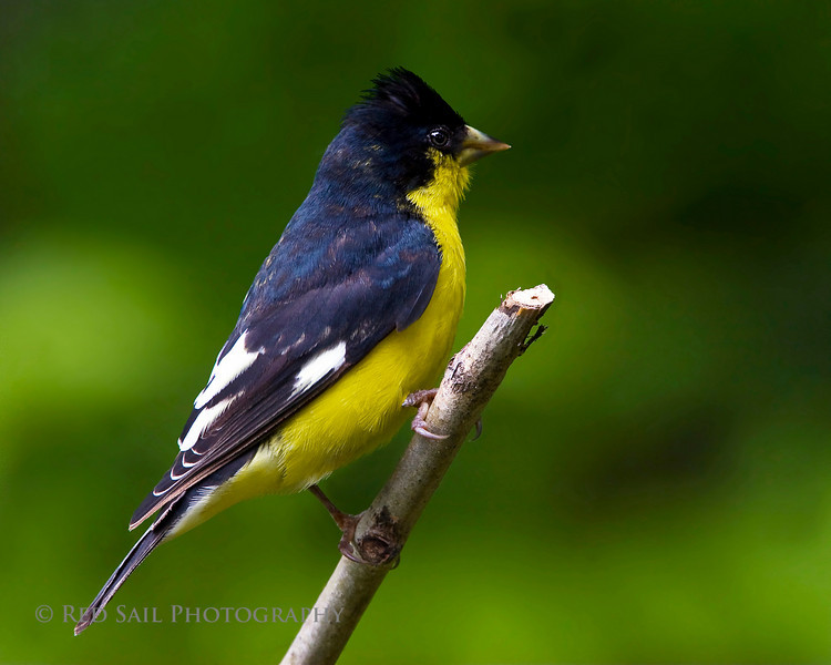 Lesser Goldfinch male...(Carduelis psaltria) This bird is usually found in the Southwest US and Mexico. Its very rare to see this species in Maine..This image was taken on Parks Pond in Clifton Maine, so I included it in this gallery.