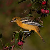 Baltimore Oriole, juv. Image taken at Fields Pond Audubon Center in Holden, Maine.