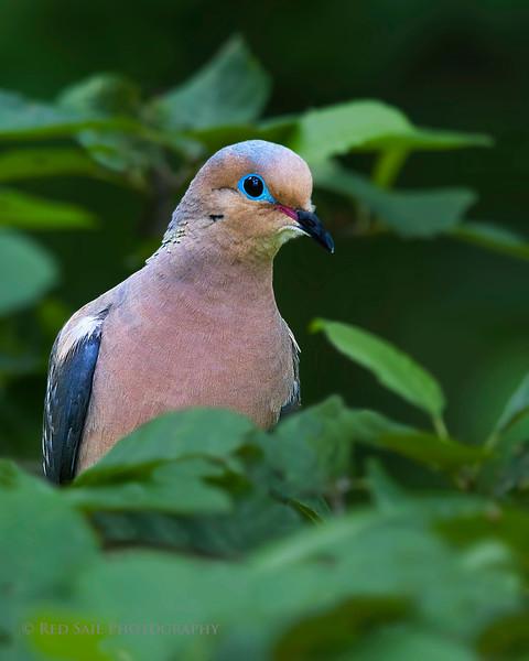 Mourning Dove (Zenaida macroura).