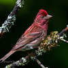 Purple Finch male (Carpodacus purpureus)