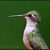 Ruby-throated Hummingbird female.