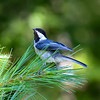 Black-capped Chickadee (Poecile atricapilla). Image catches a split second before he takes flight.