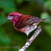 Purple Finch. Artistic filters applied.