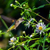 Ruby-throated Hummingbird. Image taken at Parks Pond in Clifton, Maine.