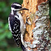 Hairy Woodpecker (Picoides villosus). This bird is similar to the Downy Woodpecker except for the long bill.