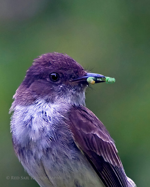 Eastern Phoebe with a worm. A closer crop. Moments after the shot, he flew to the nest to feed the youngsters.