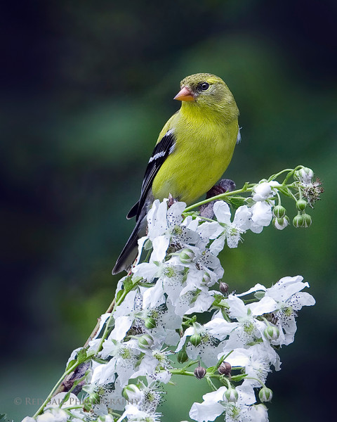 American Goldfinch, female. Image taken at Parks Pond in Clifton, Maine.