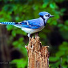 Blue Jay. He was so good to pose several times, of course the peanuts helped a little.