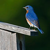 Eastern Bluebird, male. Image taken at the Maine Audubon Society facility at Fields Pond (Bangor area).