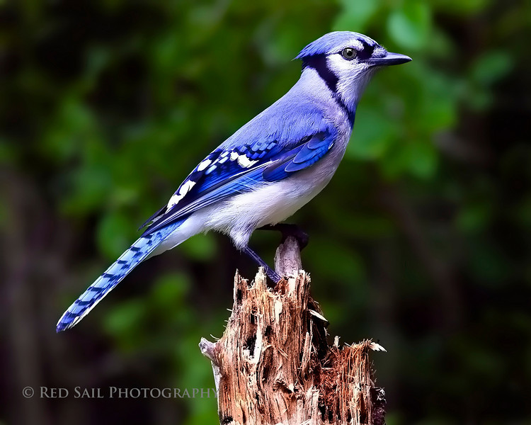 Blue Jay with a more formal pose.
