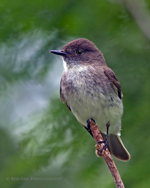Eastern Phoebe (Sayornis phoebe) female. Image taken at Fields Pond Audubon facility near Bangor.