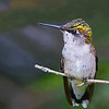 Female Ruby-throated Hummingbird looking for a meal.