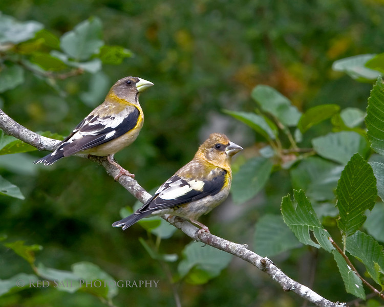 Evening Grosbeak (Coccothraustes vespertinus) female with a first year female (on right).