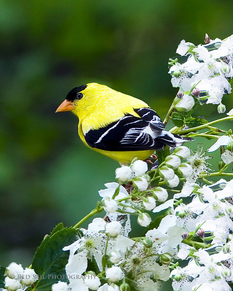 American Goldfinch, male. Image taken at Parks Pond in Clifton, Maine.