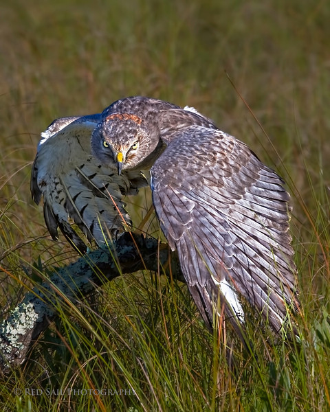 Northern Harrier (Circus cyaneus) The image of this silver male was taken in Florida which is its winter territory..