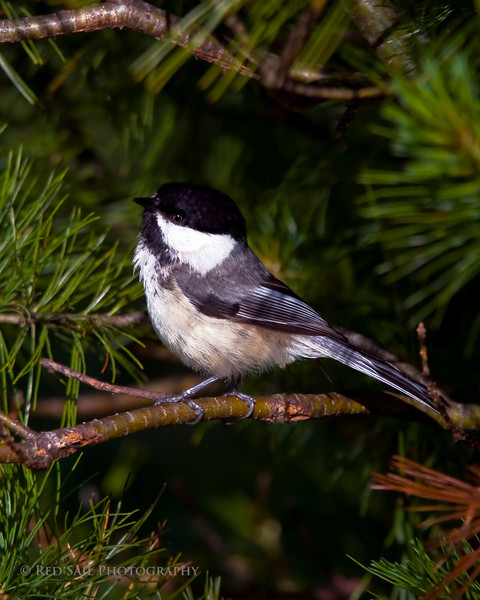 Black-capped Chickadee (Poecile atricapilla). One of the parents to the babies in the previous shot..