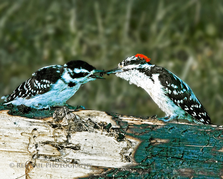 Hairy Woodpecker male sharing an ant with a female.