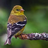 American Goldfinch female (Carduelis tristis) This is a year round resident of Maine.