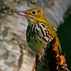 Ovenbird (Seiurus aurocapillus). Image taken at Parks Pond, Clifton.