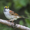 White-throated Sparrow..