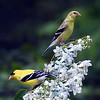 American Goldfinch male and female. Image taken at Parks Pond in Clifton, Maine.