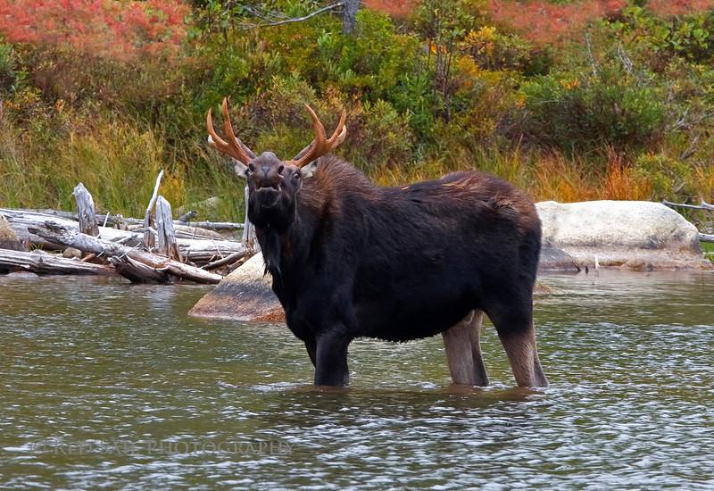 Bull moose, lip role.