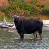 Bull moose, lip role.