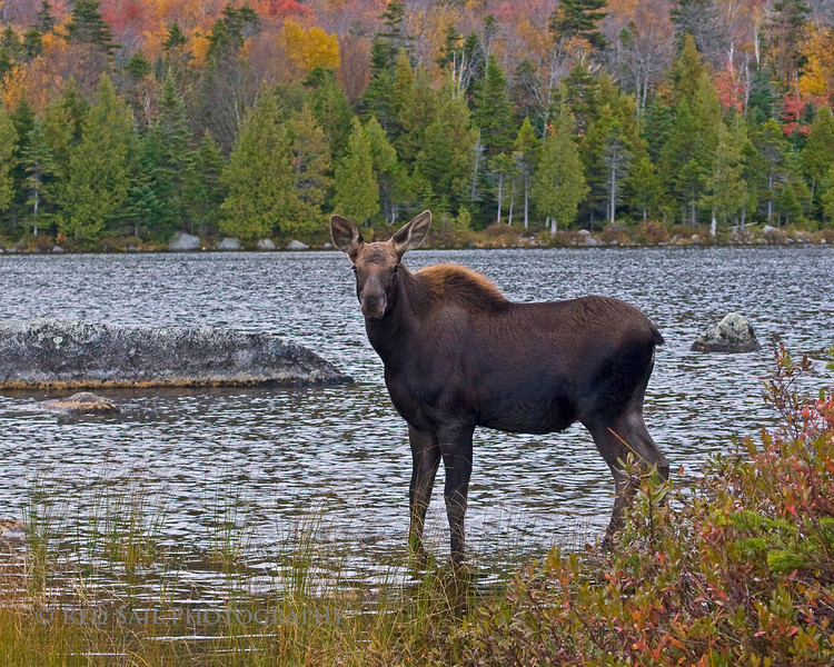 Moose (calf) at Sandy Stream Pond.