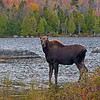 Moose (calf) at Sandy Stream Pond.