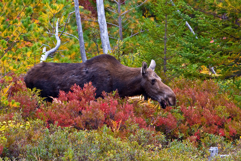 Moose at Stump Pond, Baxter State Park.