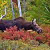 Moose at Stump Pond, Baxter State Park.