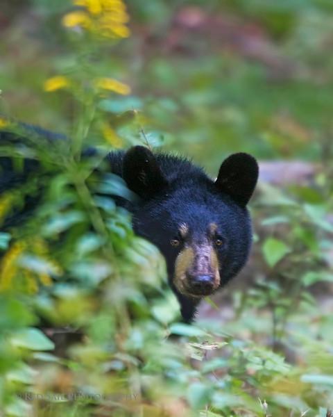 Black Bear, Maine.
