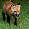 Artistic Fox.. One of four kits this Red Fox set his eyes on lunch..