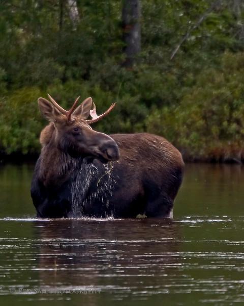 Bull moose at Sandy Stream Pond.