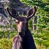 Bull Moose. Image taken at Stump Pond, North Woods, Maine