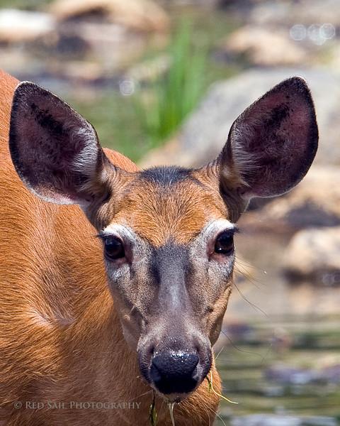 Close up. Deer at Sandy Stream Pond.