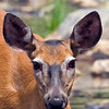 Close up. Deer at Sandy Stream Pond.