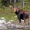 Bull Moose, June 2012.