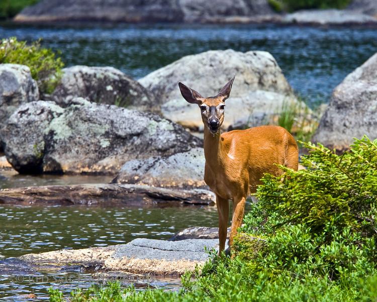 Deer at Sandy Stream Pond, Baxter State Park, Maine.